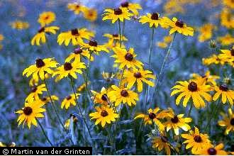 black eyed susan1